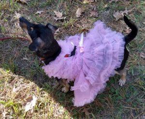 Small Dog Pet Masquerade Parade