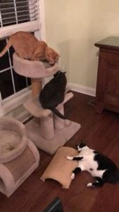Cats using cat scratcher and cat tree