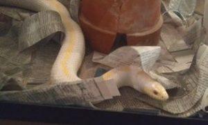 4-H Herpetology Snake