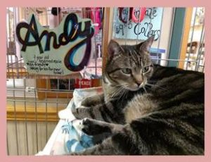 Andy adoptable cat Felines First Dec 2018