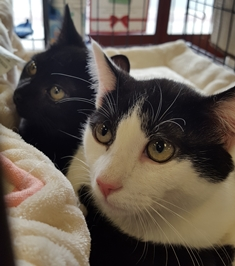 Jacob and Jeremiah adoptable CAPIC Cats