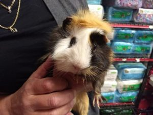 Guinea Pig Guinesis Amwell Pet Supply