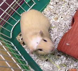 Guinea Pig Toby Amwell Pet Supply