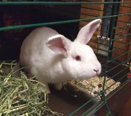 Rabbit Sylvester Amwell Pet Supply