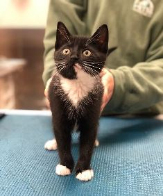 Adoptable Kitten Tuxedo