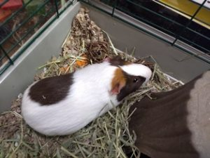 Adoptable Guinea Pig named Remy