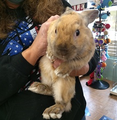 Ritz 8 mo old Rabbit for Adoption