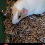 Ashley Adoptable Guinea Pig