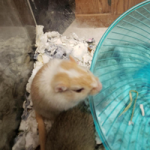 Adoptable Gerbil two