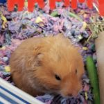 Hammy an Adoptable Hamster