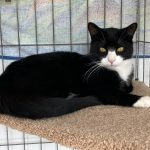 Oliver Adoptable Cat Cats Only Inn