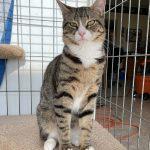 Otis Adoptable Cat at Cats Only Inn
