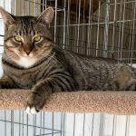Owen Adoptable Cat at Cats Only Inn