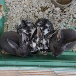 8 wk old Baby Rabbits for Adoption