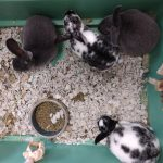 8 wk old Rabbits TWO July 2021