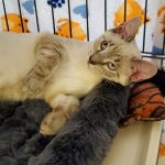 CAPIC Adoptable Kitten Timmy