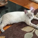 CAPIC Adoptable Kitten Timmy Two